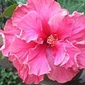千层木槿花