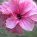 温柔粉红色大红花