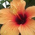 橙色的大红花