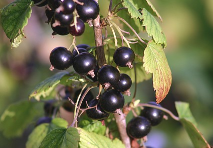 black-currants-1.jpg
