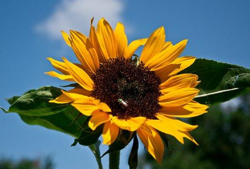 sunflower.bmp