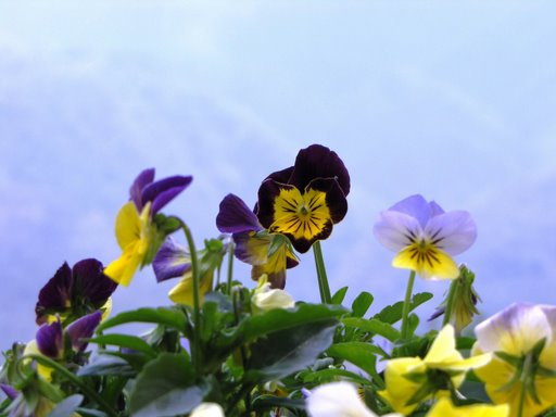 blue flower.bmp