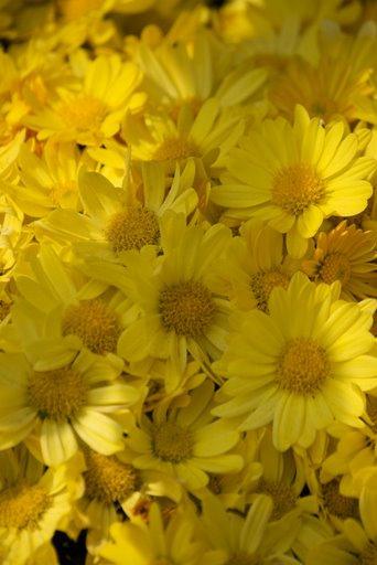 chrysanthemun.bmp