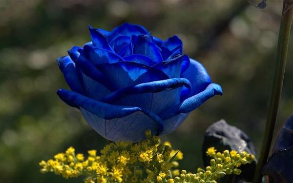 blue-roses-04605_high.jpg