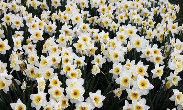 daffodil_04-9.jpg