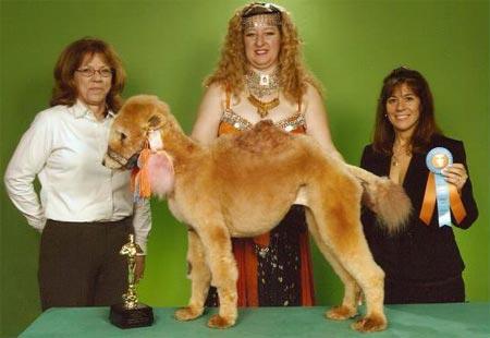 Camel%20Poodle.jpg