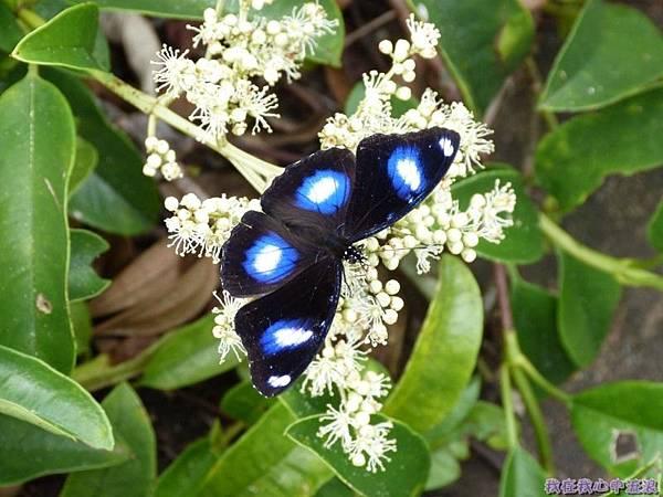 琉球紫蛺蝶20140803(1)