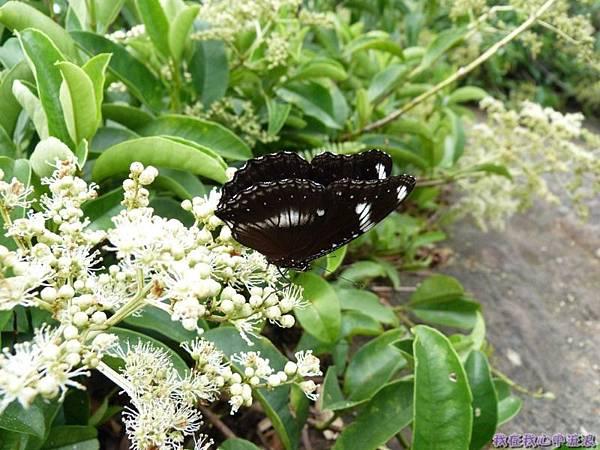 琉球紫蛺蝶20140803(2)