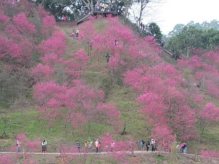 櫻花林20140208-1444.JPG