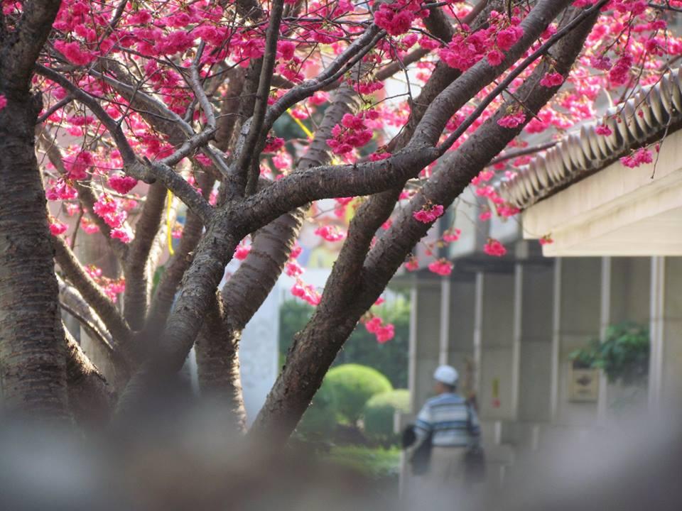 櫻花06.jpg