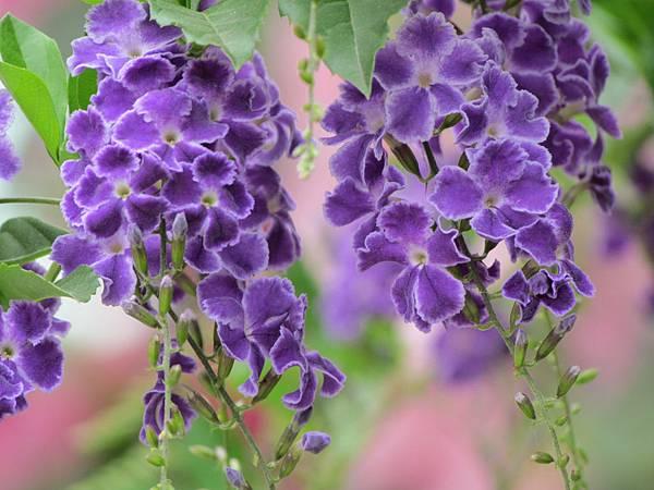媽媽種的花2014-3417.JPG