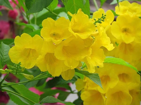 媽媽種的花2014-3422.JPG