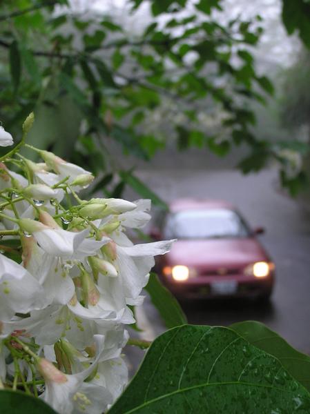 油桐花樹下.JPG