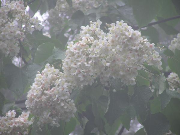 霧氣中的油桐花.JPG