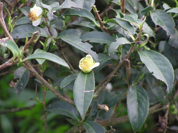 茶花.JPG