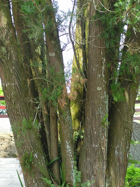 樹2.JPG