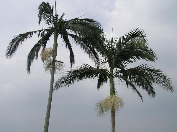 檳榔樹.JPG