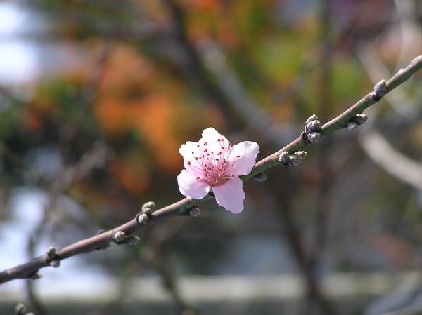 桃紅.JPG