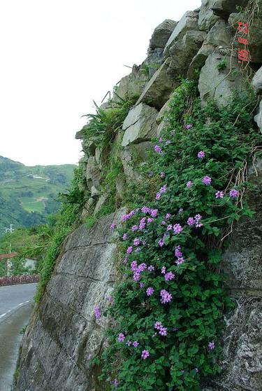 台東太麻里金針山石壁小花