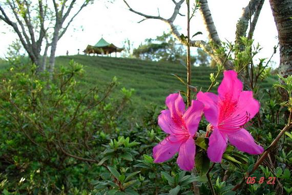 台東太麻里金針山杜鵑花
