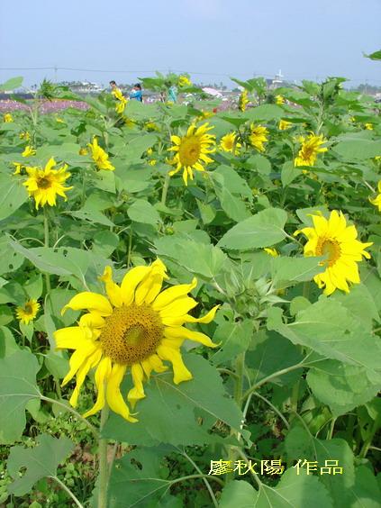 新社花海祭:向日葵
