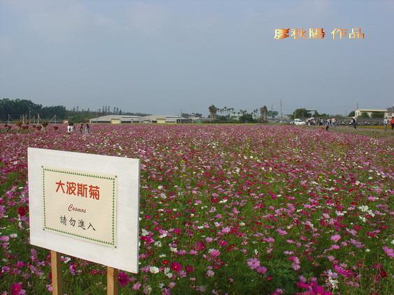 新社花海祭:紅波斯菊