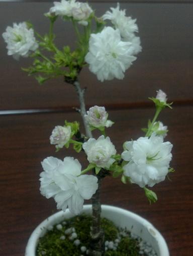 小櫻花03-1
