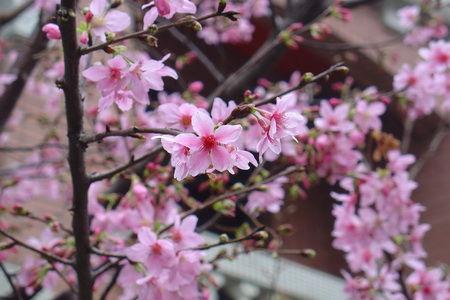 2011家中櫻花[調]03.jpg