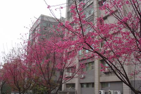 復興6號公園櫻花[調]03.jpg