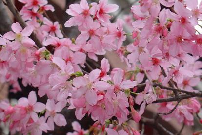 2011家中櫻花[調]05.jpg