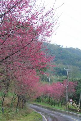 東眼山櫻花[調]04.jpg