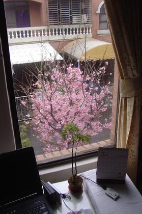 2011家中櫻花[調]14.jpg
