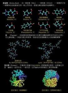 國科會胺基酸結構圖.jpg
