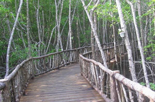 紅樹林步道之一