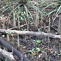 紅樹林步道之三