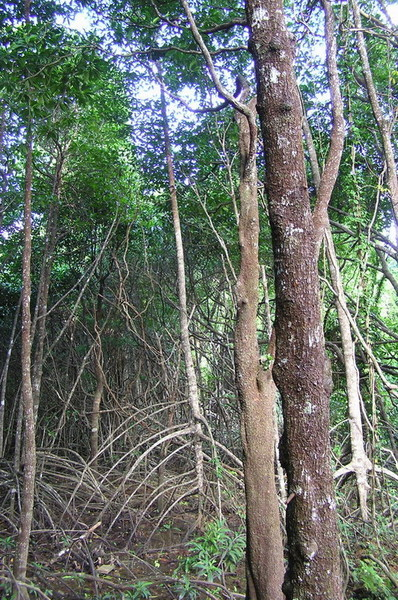 紅樹林步道之四