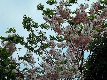 花旗木~~泰國櫻花
