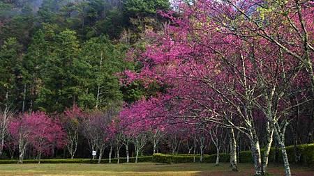 奧萬大櫻花2