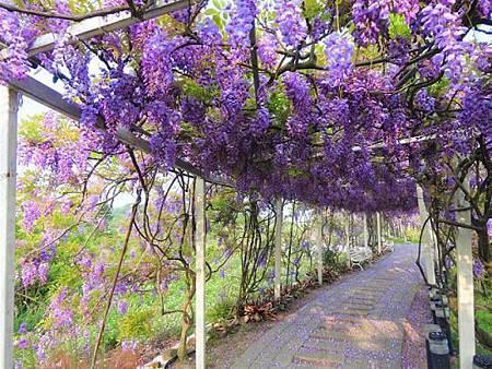 紫 藤 花2