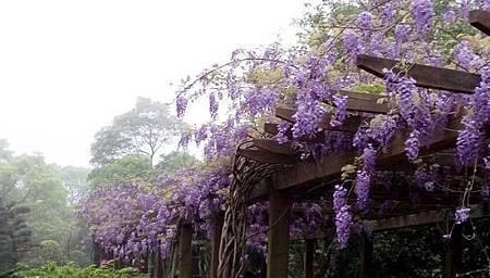 紫 藤 花