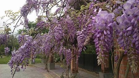 紫 藤 花3