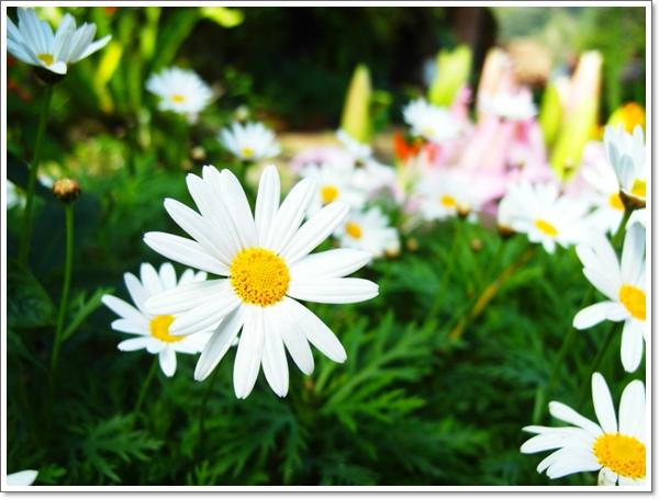 山行玫瑰10.jpg