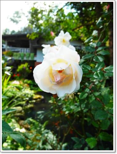 山行玫瑰21.jpg