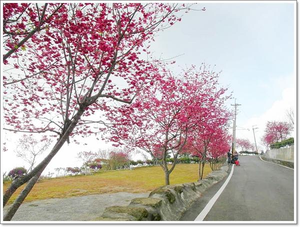 阿里山櫻花02.jpg