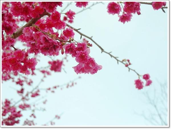 阿里山櫻花04.jpg