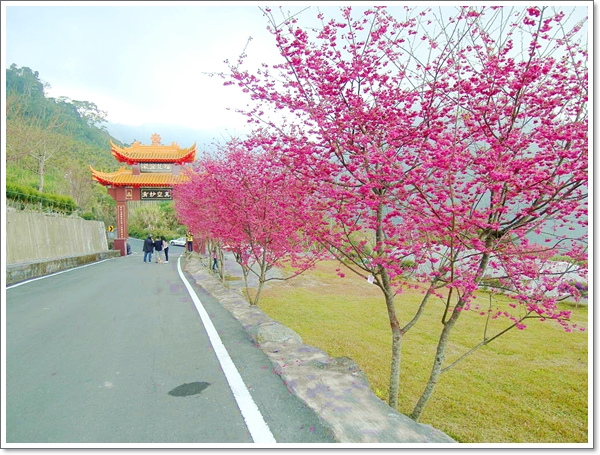 阿里山櫻花05.jpg