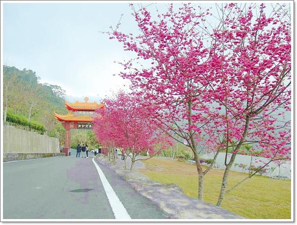阿里山櫻花06.jpg