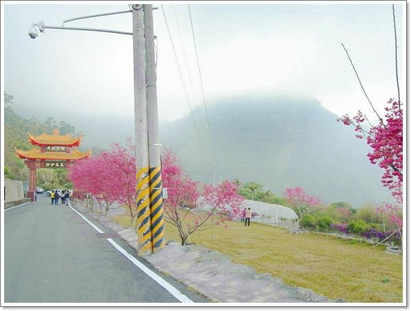 阿里山櫻花07.jpg