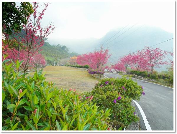 阿里山櫻花09.jpg