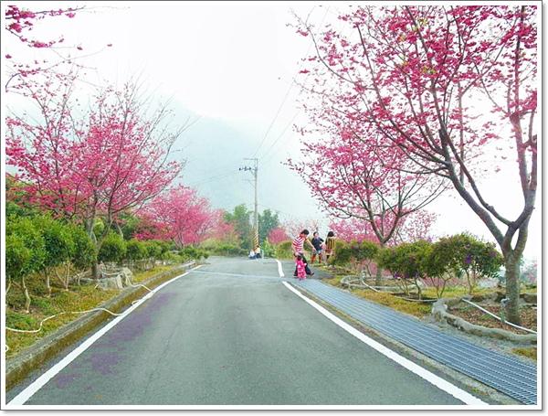 阿里山櫻花10.jpg